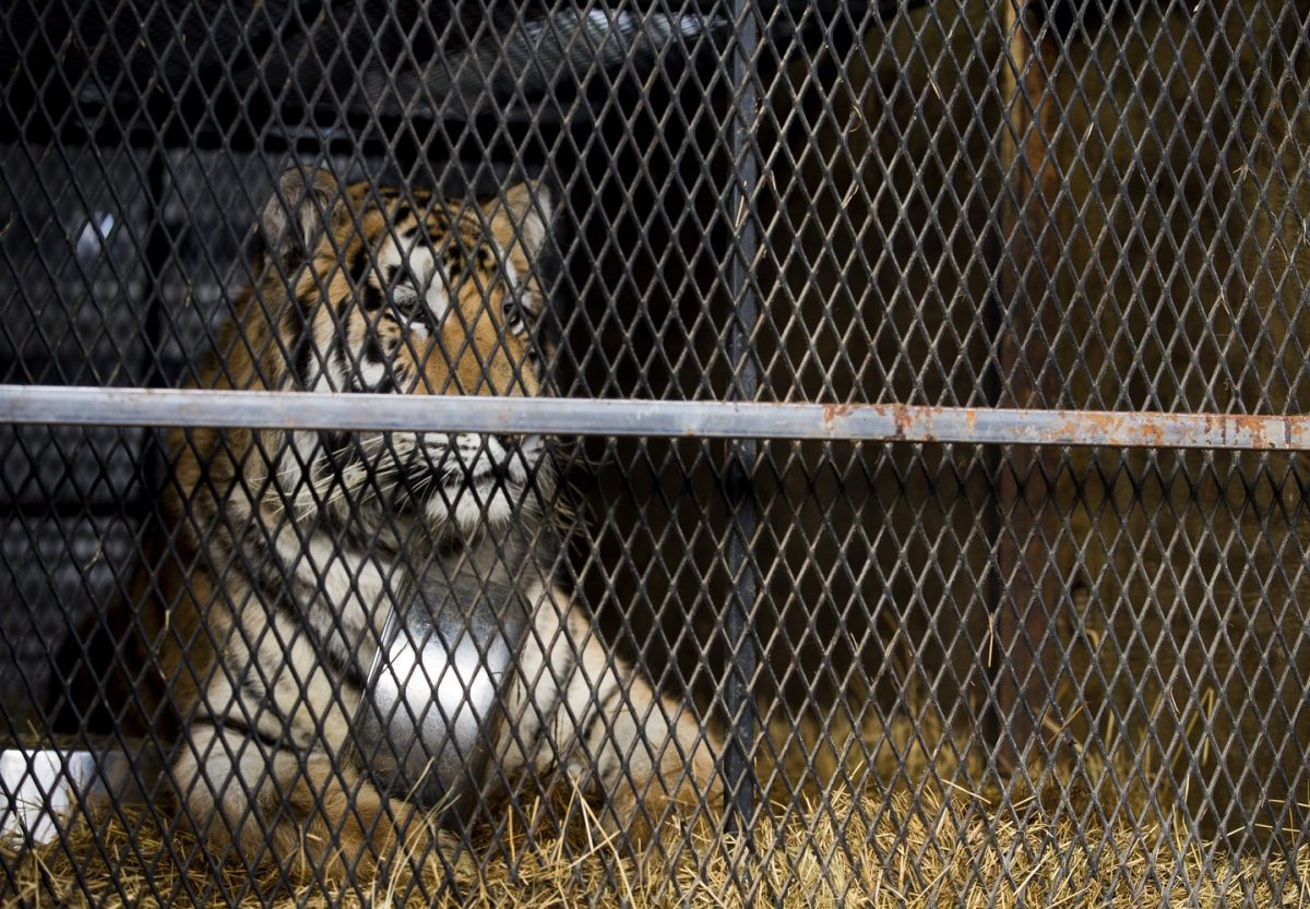 Abandoned tiger in Houston