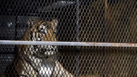 Overweight Tiger Abandoned in Tiny Cage in Houston Garage Now 'Happy and Content'