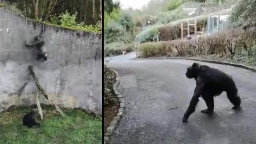 Chimps use branch as ladder to escape Belfast zoo enclosure