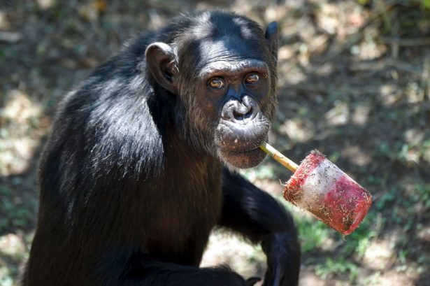 A chimpanzee eats fresh fruits at Rome's Bioparco zoo on Aug. 4 2016