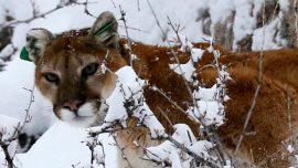 Jogger Kills Mountain Lion In Self-Defense on Colorado Trail