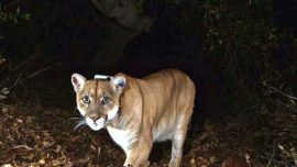 Mother Recounts How She Fought Mountain Lion That Mauled Her 7-Year-Old Son