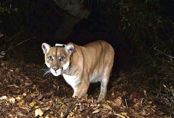 'Amazing' Video Shows Mountain Lion Prowling in Man's Backyard: 'He Was Right There'