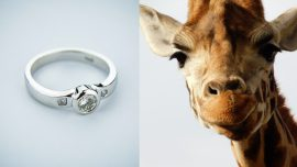 Man Proposes to His Girlfriend With the Help of a Giraffe