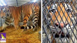 Marijuana Smoker Finds Tiger in House, Tells Dispatch: 'I'm Not Lying'