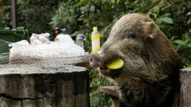 Hong Kong Debates Wild Boar Problem as Chinese New Year of the Pig Dawns
