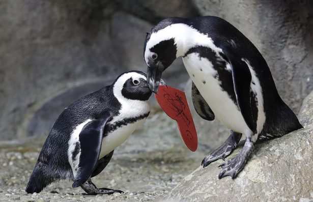 An African penguin carries a heart shaped valentine