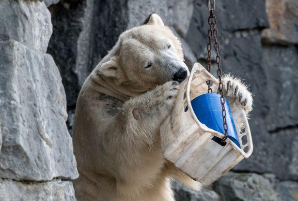 polar bear playing at zoo