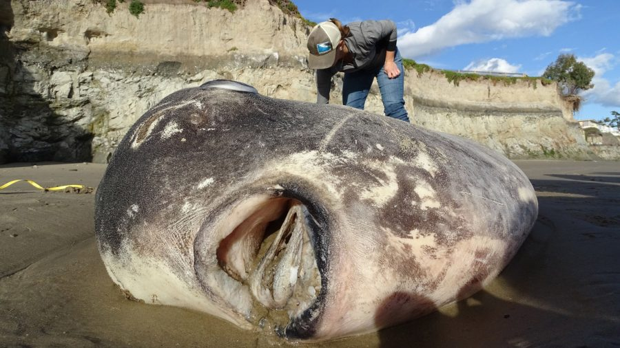 Hoodwinker sunfish: Rare fish washes up on California beach