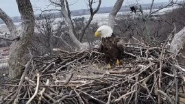 Bald Eagle 'Justice' Returns to Nest to Find 'Liberty' Has Moved On