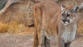 Woman Pulls Apart 'Dog Fight' to Find Herself Holding a Mountain Lion