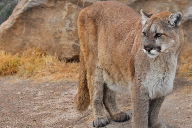 Possible Mountain Lion Sighting Prompts Officials to Issue Warning