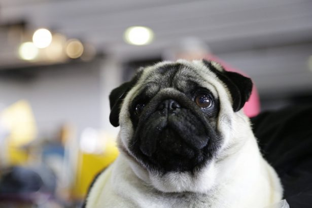 Biggie the pug poses for photos at the Westminster Kennel Club Dog Show