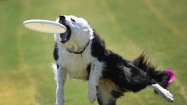 Dog Sets Record on Football Field With Super Long Flying Disc Grab