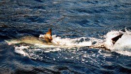 Florida Fishermen Catch Rare Great White Shark, Release It Back Into Ocean