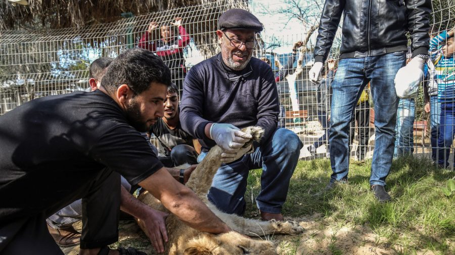 Pictured: Lioness Gets Claws Removed So Visitors Can 'Play' With Her