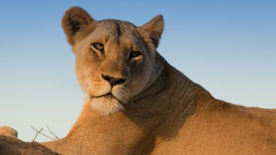 4-Year-Old Girl In Critical Condition After Scalp Clawed By Lioness