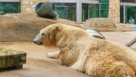 Polar Bear, 31, Dies at Kansas City Zoo