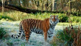 Rare Tiger Dies in Safari Park, 2nd to Perish in Past Week