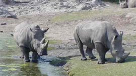 Rhino Strikes Zookeeper With Horn at Florida Zoo