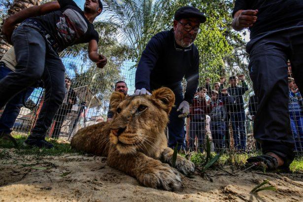 vet declaws lion