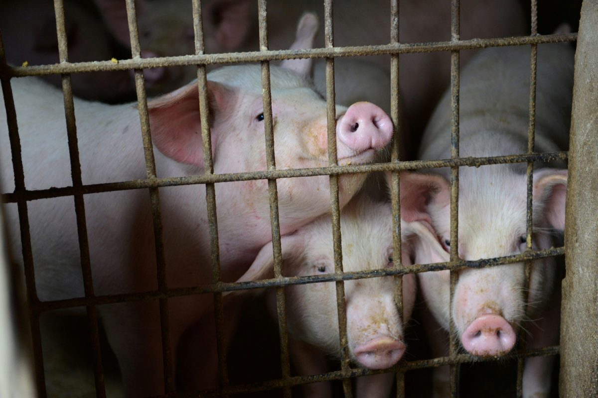 Pigs are seen at a family farm in Fuyang, Anhui