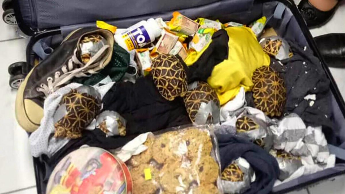 Collection of 1,529 live tortoises and terrapins rescued from smuggler's luggage