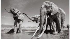 Incredible Pictures Capture Rare 'Elephant Queen' in Kenya