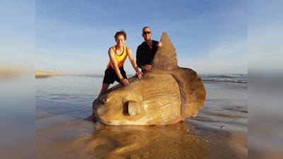 Pictures Show Rare, Giant Sunfish That Washed Ashore in Australia