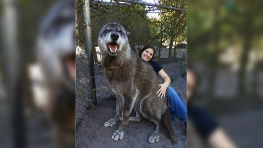 Giant Wolf 'Yuki' Goes Viral After Being Rescued From Kill Shelter