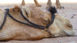 Sad Camel Stops Taking Food and Water After Caretaker Cop Died of Heart Attack