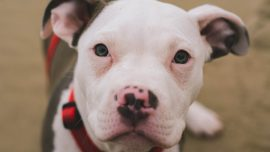 Kansas City Suburb Becomes Latest to Repeal Pit Bull Ban
