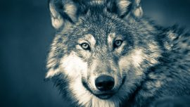 'Like Something out of a Horror Movie': Large Wolf Attacks Family in Their Tent