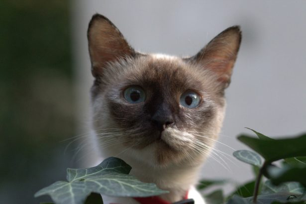A picture of a burmese cat looking alert.