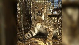 Bobcat That Survived Wildfire Killed in Car Crash