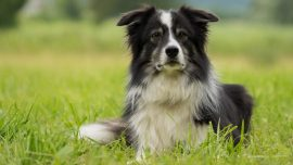 Border Collies Help Owners Restore Chilean Forest After Devastating Forest Fire