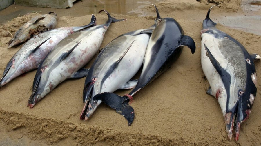 Report: 174 Dolphins Died From Red Tide Bloom Off Florida