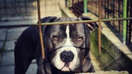 Texas Woman Mauled to Death by Pet Pit Bulls