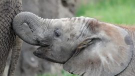 Second Elephant Dies From Illness at Indianapolis Zoo