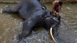 Elephant Sits on Handler, Crushing Him to Death