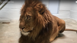 Zoo Welcomes Four Lions, Want to Restore Population
