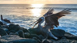Video: Man Arrested for Jumping on Brown Pelican in Florida
