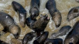 Video Showing Fisherman Throwing Explosive at Sea Lions Causes Uproar