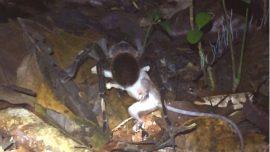 Scientists Record Massive Tarantula Dragging Opossum Through Jungle