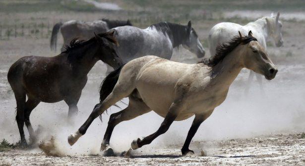 wild horses kick up dust