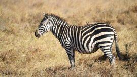 Man Shoots Zebra Dead After It Escapes His Florida Property