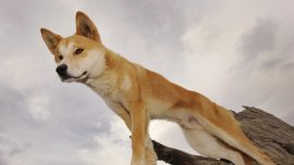 Dad Snatches Toddler Son From Dingo's Jaws