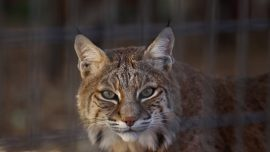 Rabid Bobcat Attacks Golfer and Horse in Connecticut, Meets a Fatal End