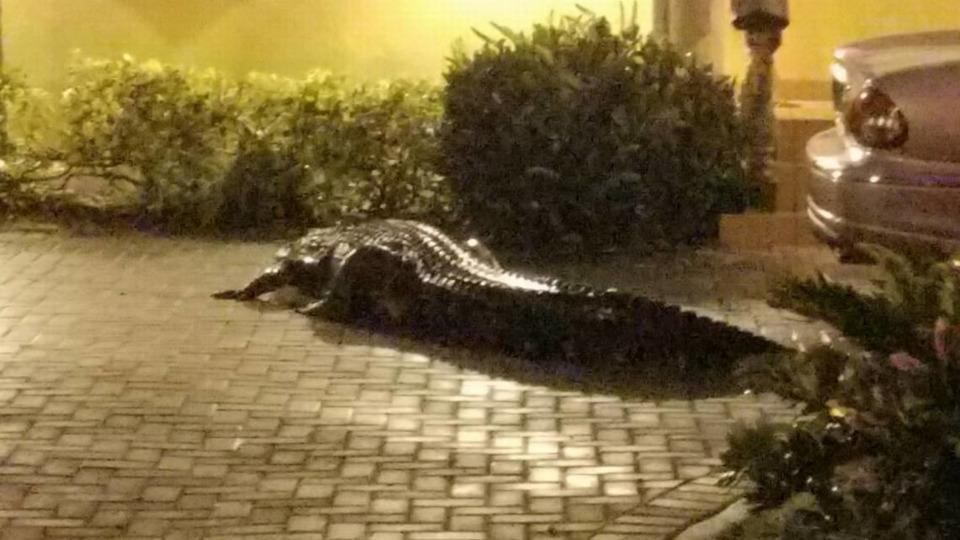 A 11-foot, 600-pound gator