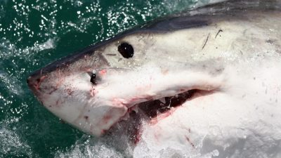 Commercial Fishing Expedition Finds 4,500 Pound Shark With Turtle in Its Mouth